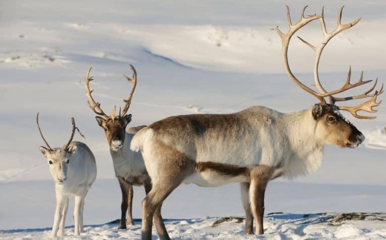 Baby reindeer in Norway