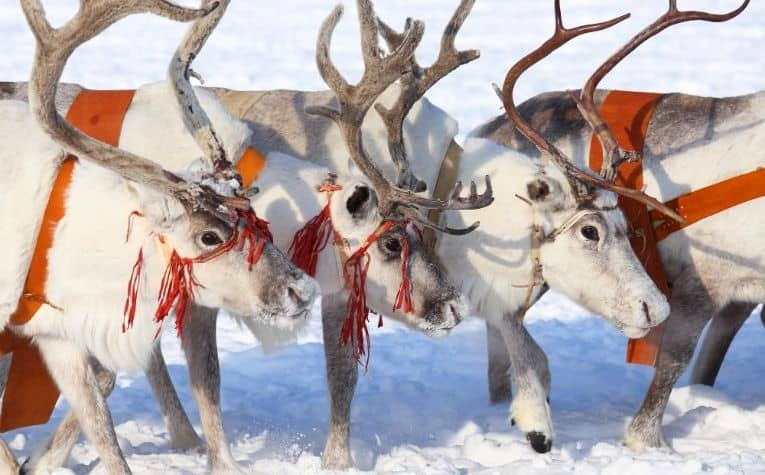 Reindeer in Christmas decor