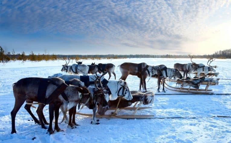 A reindeer herd in Norway
