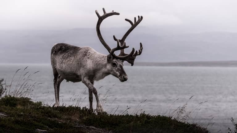 Reindeer in Norway