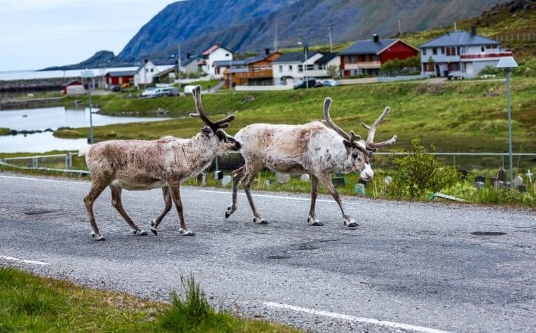 Reindeer taking a walk in Norway