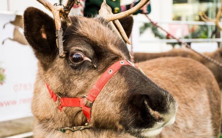 Reindeer work animals in Norway