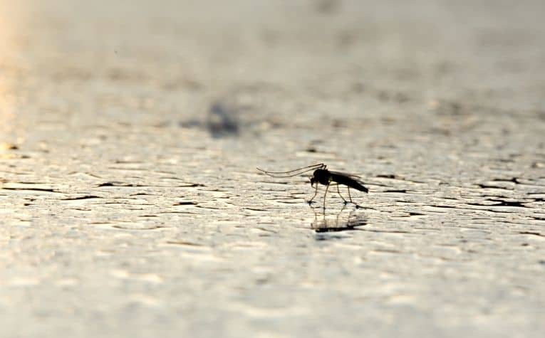 mosquito on the water