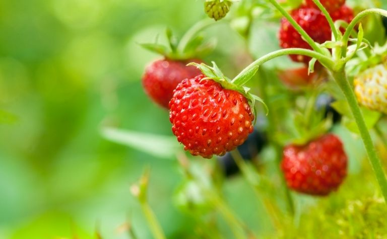 Strawberries in Scandinavia